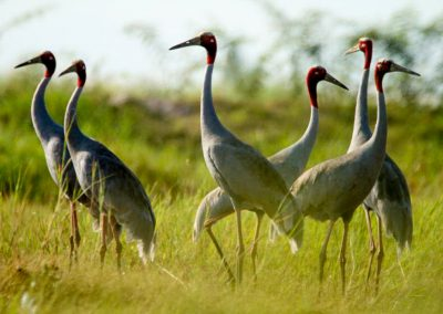 Anlung Pring Sarus Crane Project