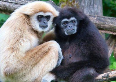 Veun Sai Gibbon Ecotours project