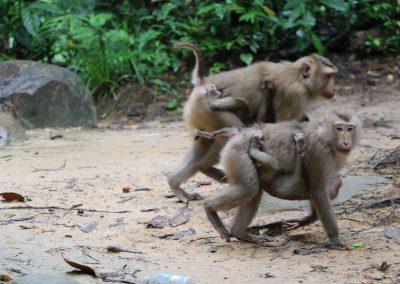 Prek-thout-monkeys