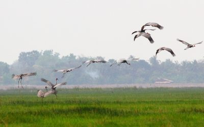 My trip to Anlung Pring Sarus Crane Project