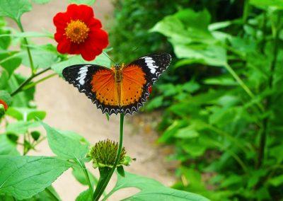 Banteay Srei Butterfly Centre (BBC)