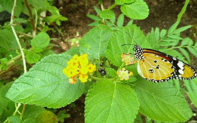 A colourful visit to Banteay Srei Butterfly Centre (BBC)